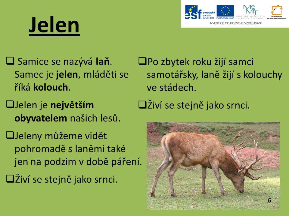 Jelen  Samice se nazývá laň. Samec je jelen, mláděti se říká kolouch.  Jelen je největším obyvatelem našich lesů.  Jeleny můžeme vidět pohromadě s