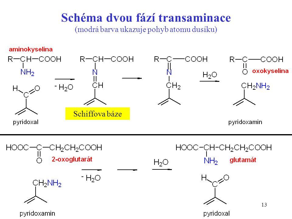 13 Schéma dvou fází transaminace (modrá barva ukazuje pohyb atomu dusíku) Schiffova báze
