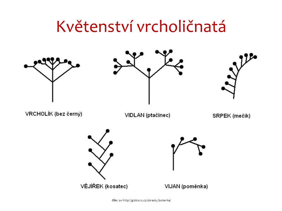 Květenství vrcholičnatá Obr. 21: http://giobio.ic.cz/obrazky/botanika/