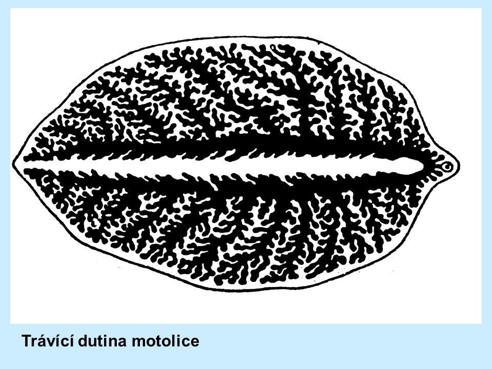 Trávící dutina motolice