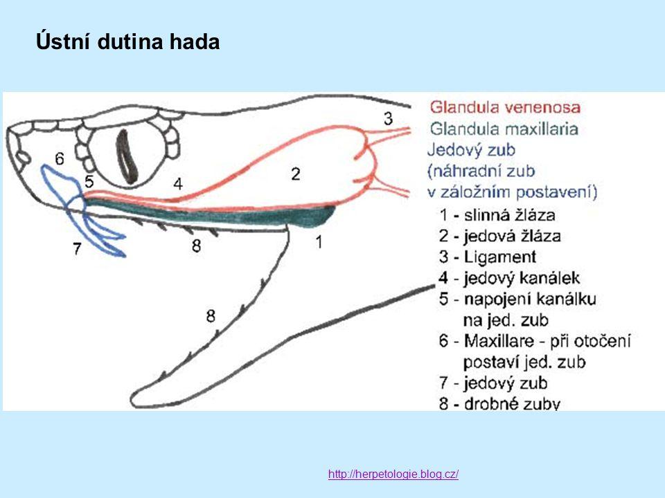 Ústní dutina hada http://herpetologie.blog.cz/