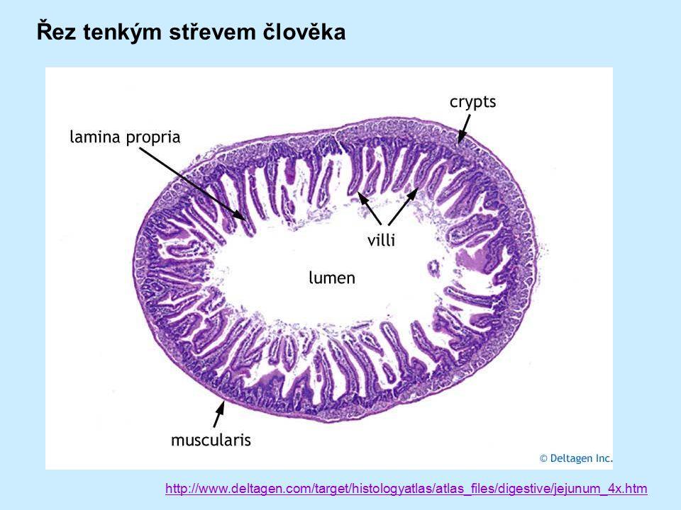 http://www.deltagen.com/target/histologyatlas/atlas_files/digestive/jejunum_4x.htm Řez tenkým střevem člověka
