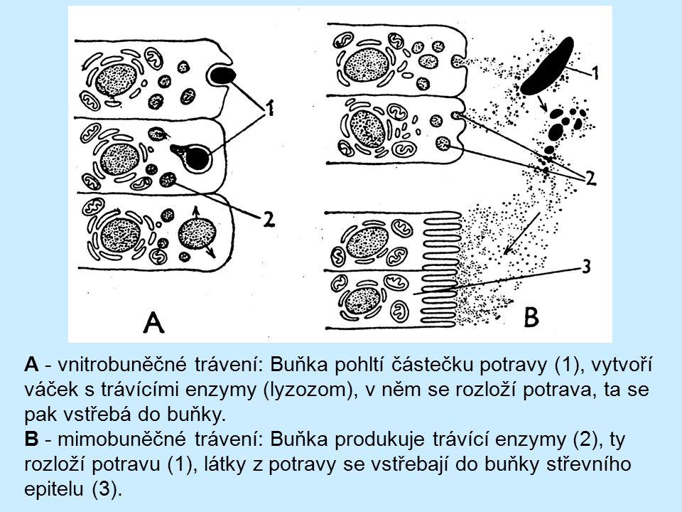 A - vnitrobuněčné trávení: Buňka pohltí částečku potravy (1), vytvoří váček s trávícími enzymy (lyzozom), v něm se rozloží potrava, ta se pak vstřebá