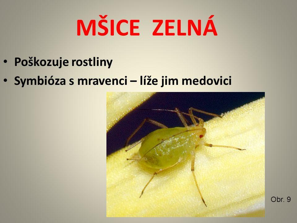 MŠICE ZELNÁ Poškozuje rostliny Symbióza s mravenci – líže jim medovici Obr. 9