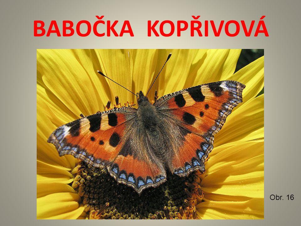 BABOČKA KOPŘIVOVÁ Obr. 16