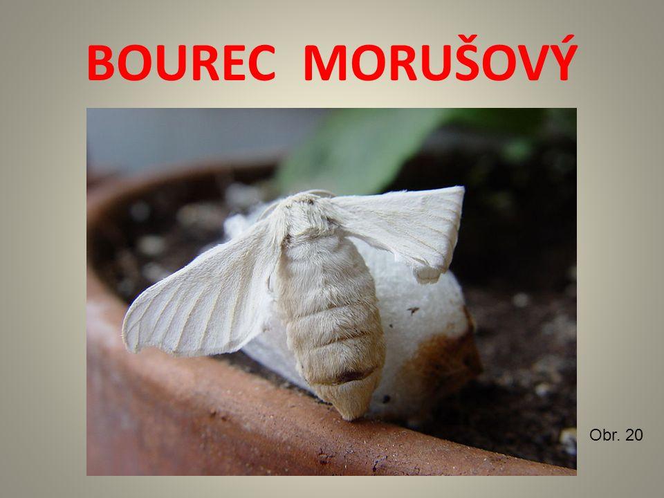 BOUREC MORUŠOVÝ Obr. 20