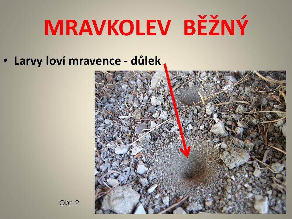 MRAVKOLEV BĚŽNÝ Larvy loví mravence - důlek Obr. 2