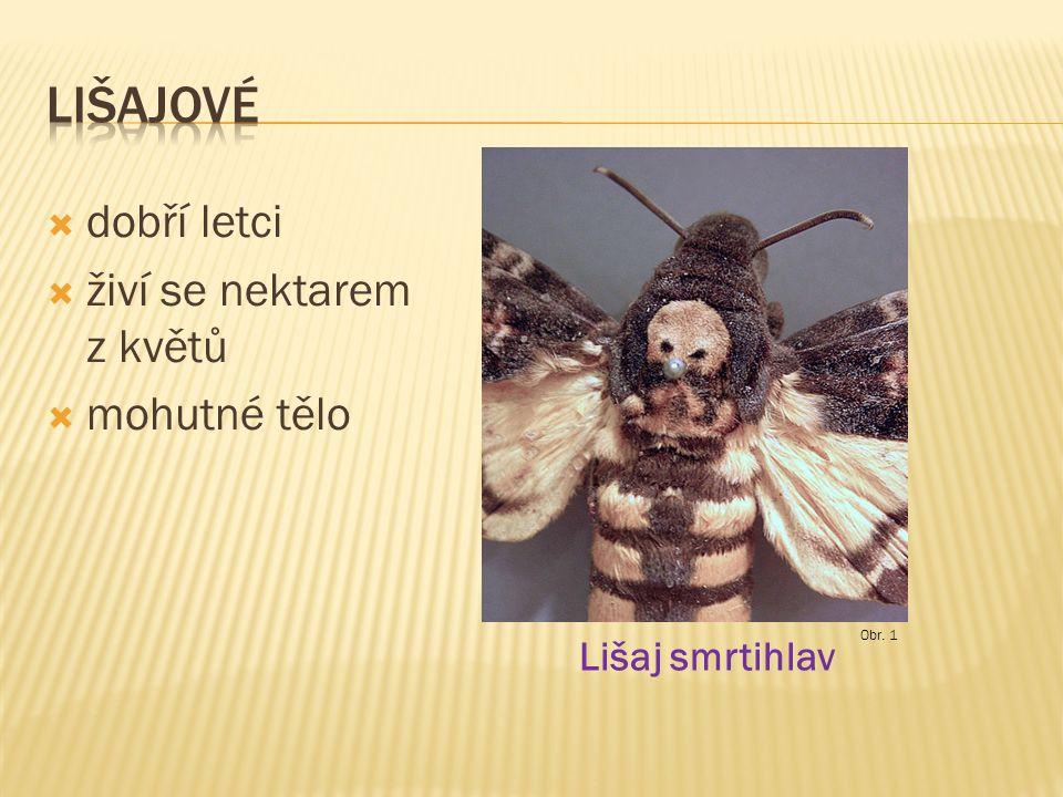  dobří letci  živí se nektarem z květů  mohutné tělo Lišaj smrtihlav Obr. 1