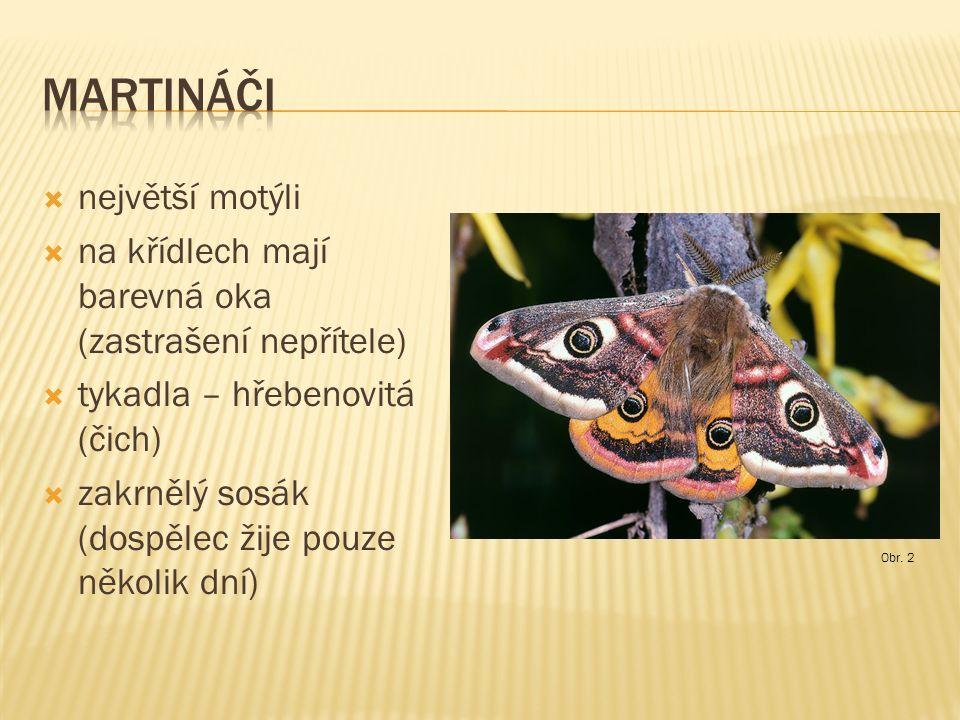  největší motýli  na křídlech mají barevná oka (zastrašení nepřítele)  tykadla – hřebenovitá (čich)  zakrnělý sosák (dospělec žije pouze několik dní) Obr.
