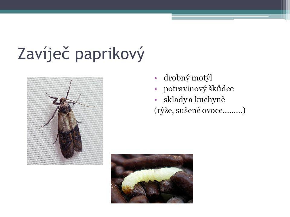 Zavíječ paprikový drobný motýl potravinový škůdce sklady a kuchyně (rýže, sušené ovoce………)