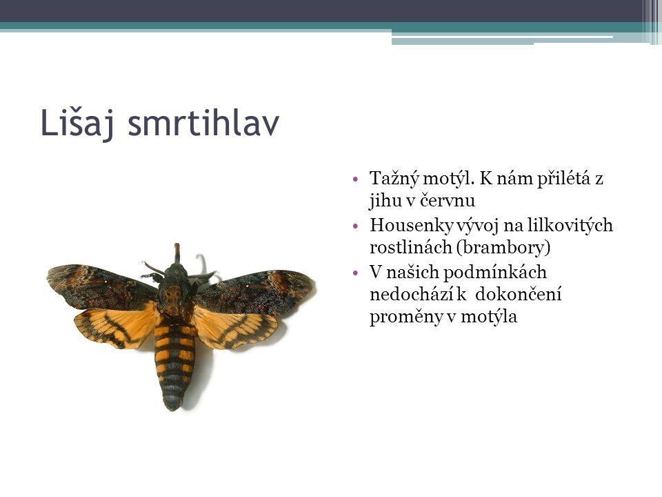 Lišaj smrtihlav Tažný motýl.