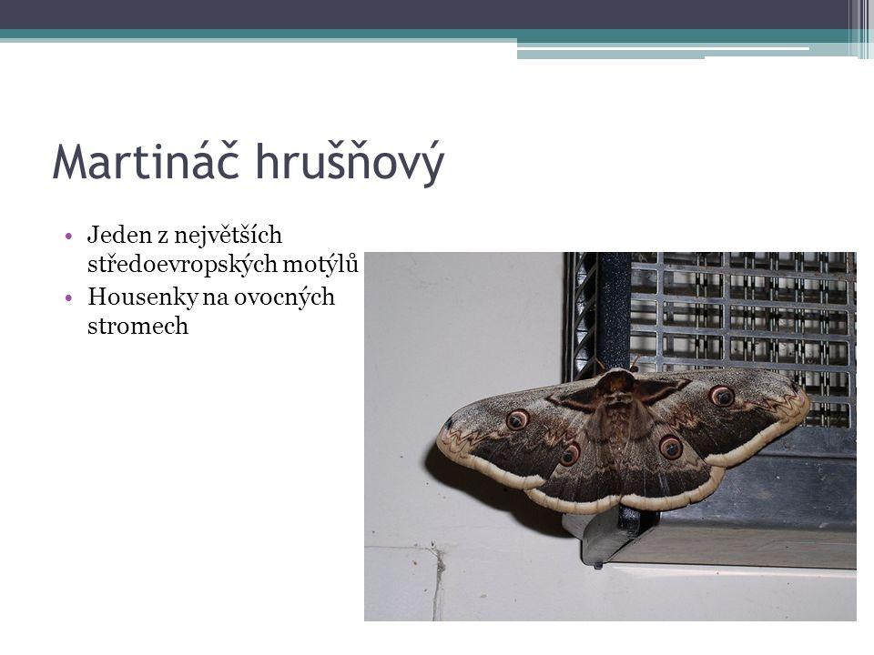 Martináč hrušňový Jeden z největších středoevropských motýlů Housenky na ovocných stromech