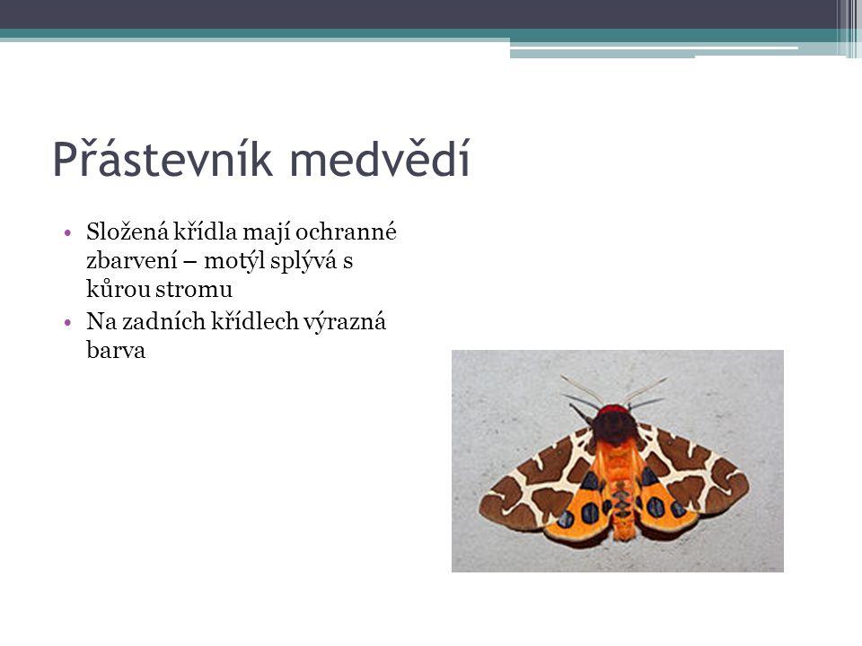 Přástevník medvědí Složená křídla mají ochranné zbarvení – motýl splývá s kůrou stromu Na zadních křídlech výrazná barva