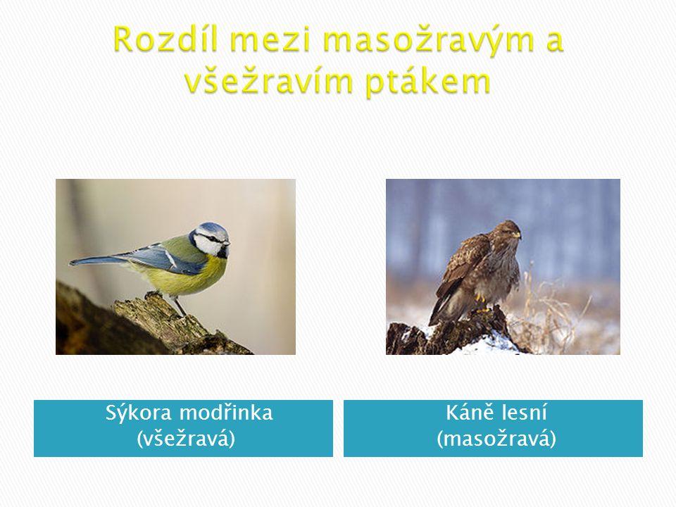 Sýkora modřinka (všežravá) Káně lesní (masožravá)