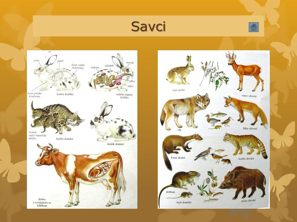 Savci