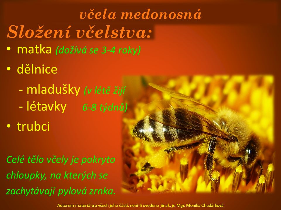 včela medonosná Složení včelstva: matka (dožívá se 3-4 roky) dělnice - mladušky (v létě žijí - létavky 6-8 týdnů) trubci Celé tělo včely je pokryto ch