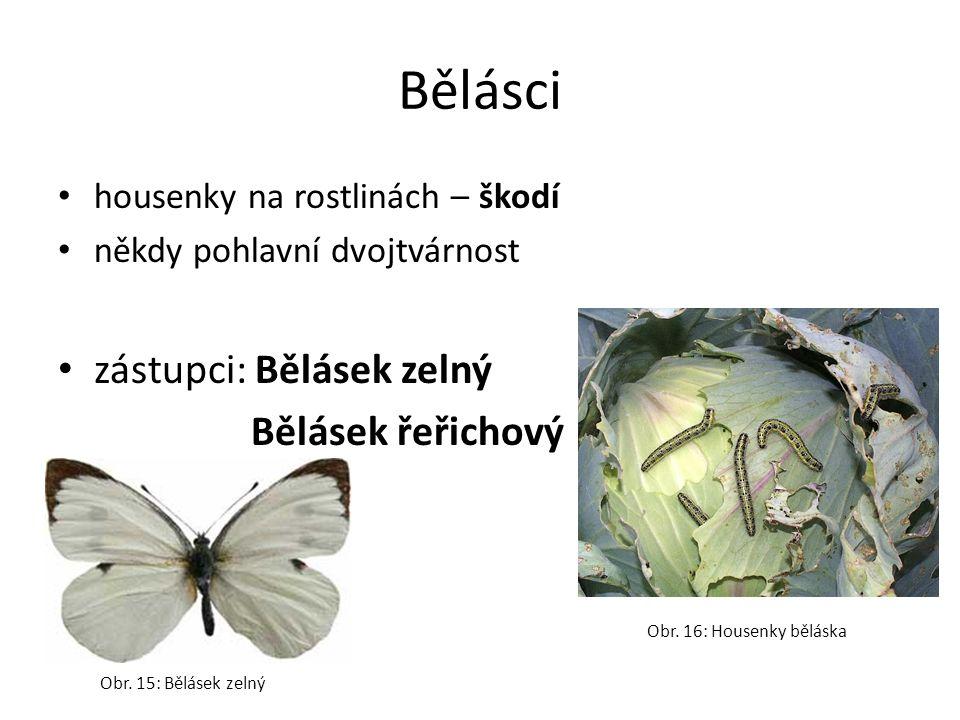 Bělásci housenky na rostlinách – škodí někdy pohlavní dvojtvárnost zástupci: Bělásek zelný Bělásek řeřichový Obr. 15: Bělásek zelný Obr. 16: Housenky