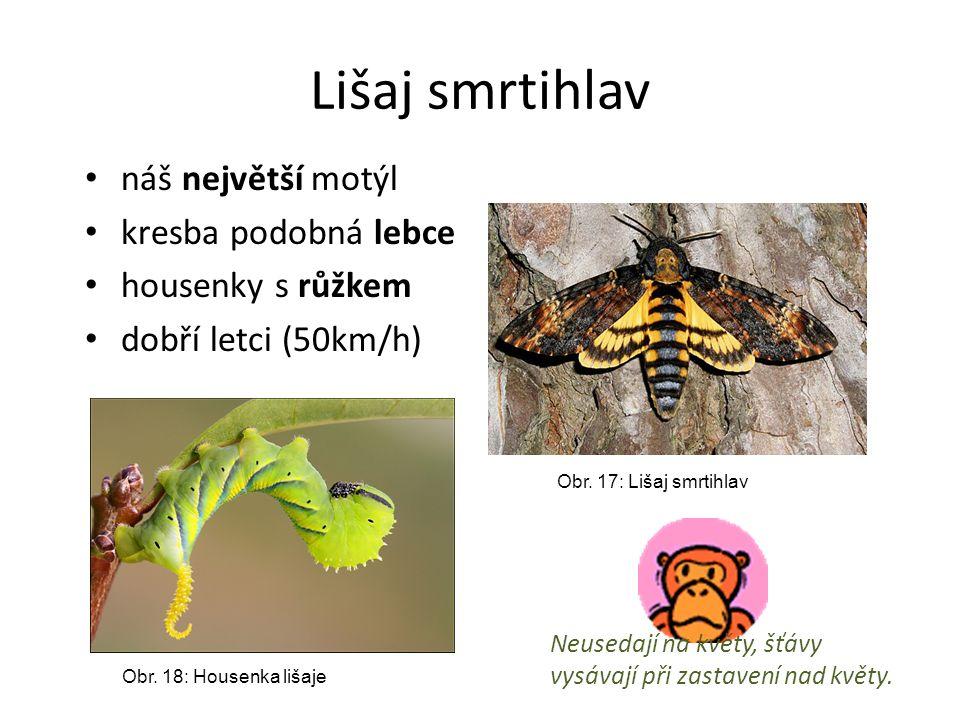 Lišaj smrtihlav náš největší motýl kresba podobná lebce housenky s růžkem dobří letci (50km/h) Obr. 17: Lišaj smrtihlav Obr. 18: Housenka lišaje Neuse