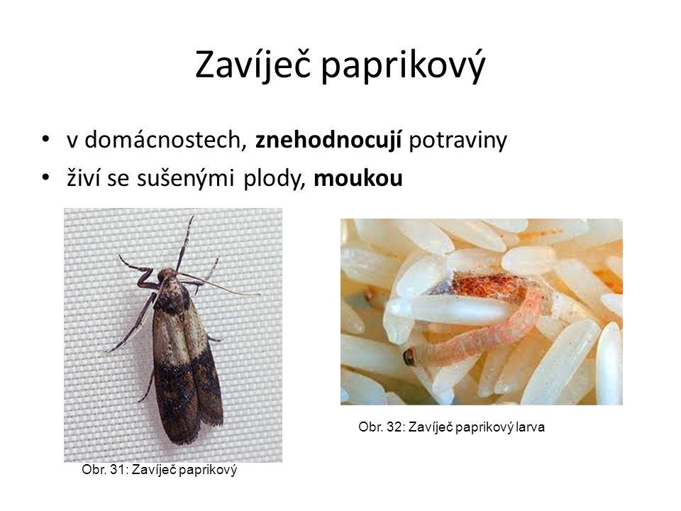Zavíječ paprikový v domácnostech, znehodnocují potraviny živí se sušenými plody, moukou Obr. 31: Zavíječ paprikový Obr. 32: Zavíječ paprikový larva