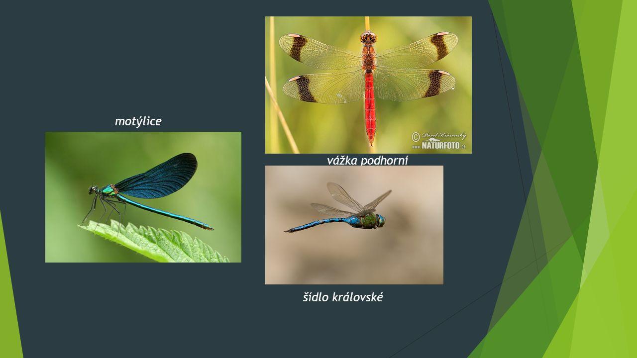 motýlice vážka podhorní šídlo královské