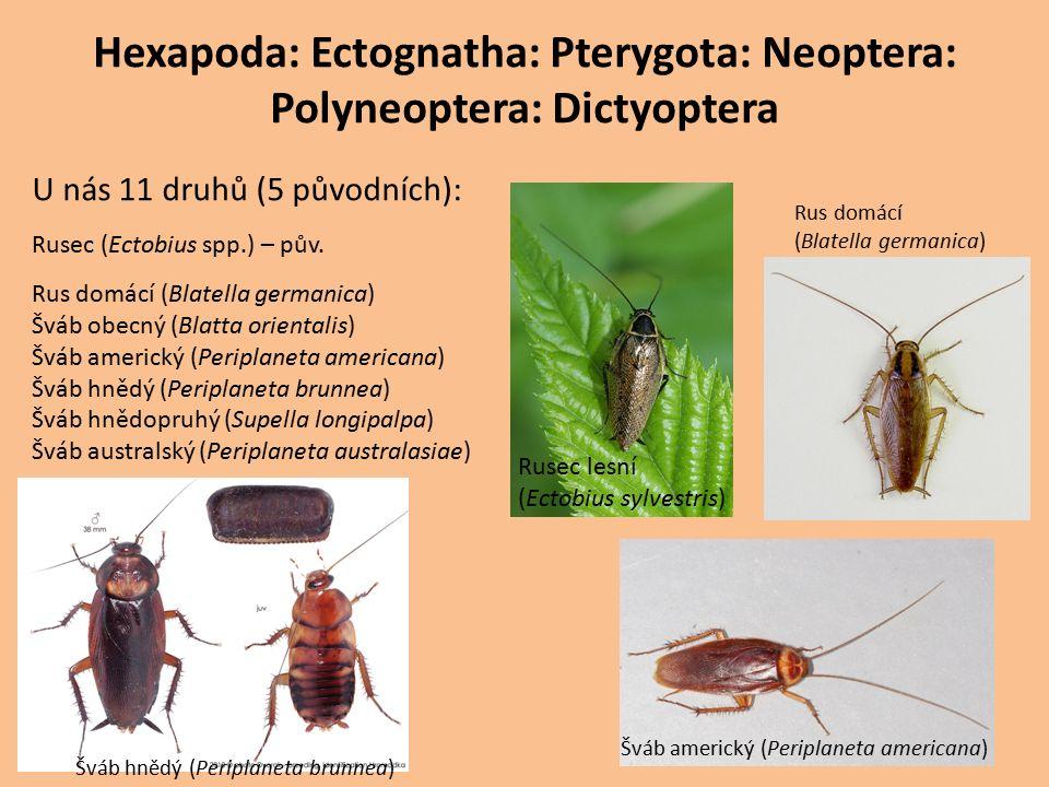 Hexapoda: Ectognatha: Pterygota: Neoptera: Polyneoptera: Dictyoptera U nás 11 druhů (5 původních): Rusec (Ectobius spp.) – pův.