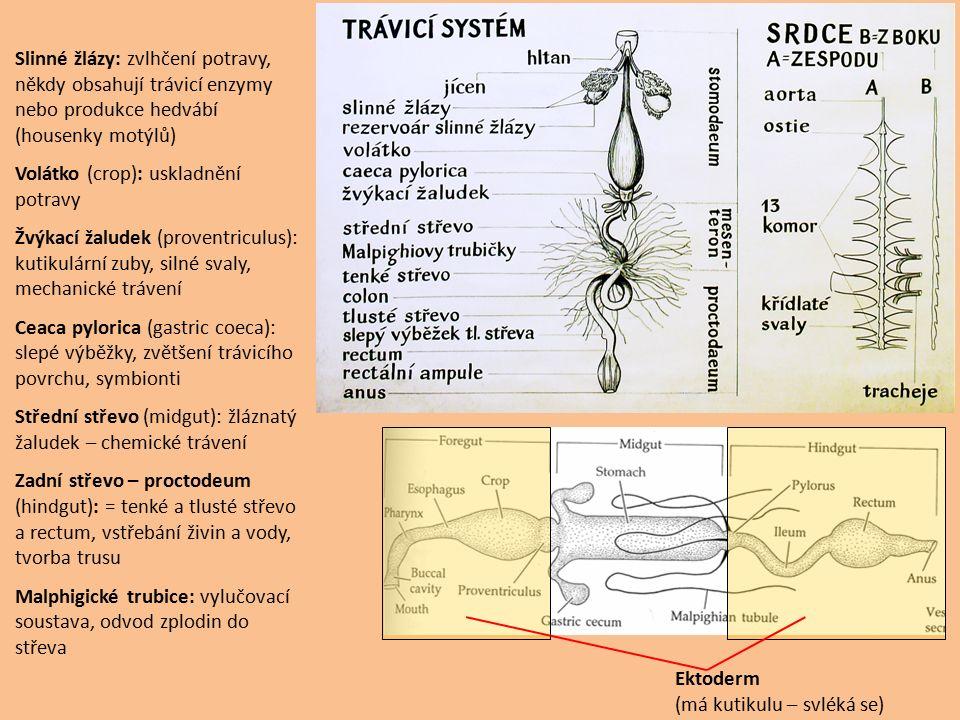Ektoderm (má kutikulu – svléká se) Slinné žlázy: zvlhčení potravy, někdy obsahují trávicí enzymy nebo produkce hedvábí (housenky motýlů) Volátko (crop): uskladnění potravy Žvýkací žaludek (proventriculus): kutikulární zuby, silné svaly, mechanické trávení Ceaca pylorica (gastric coeca): slepé výběžky, zvětšení trávicího povrchu, symbionti Střední střevo (midgut): žláznatý žaludek – chemické trávení Zadní střevo – proctodeum (hindgut): = tenké a tlusté střevo a rectum, vstřebání živin a vody, tvorba trusu Malphigické trubice: vylučovací soustava, odvod zplodin do střeva