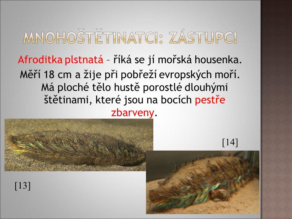 Afroditka plstnatá – říká se jí mořská housenka. Měří 18 cm a žije při pobřeží evropských moří.