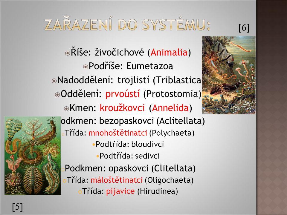  Říše: živočichové (Animalia)  Podříše: Eumetazoa  Nadoddělení: trojlistí (Triblastica)  Oddělení: prvoústí (Protostomia)  Kmen: kroužkovci (Annelida) o Podkmen: bezopaskovci (Aclitellata) o Třída: mnohoštětinatci (Polychaeta) Podtřída: bloudivci Podtřída: sedivci o Podkmen: opaskovci (Clitellata) Třída: máloštětinatci (Oligochaeta) Třída: pijavice (Hirudinea) [5] [6]
