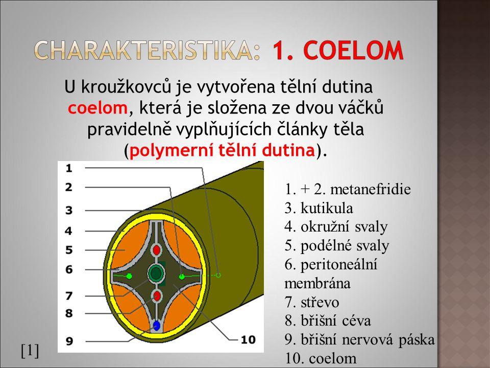 U kroužkovců je vytvořena tělní dutina coelom, která je složena ze dvou váčků pravidelně vyplňujících články těla (polymerní tělní dutina).
