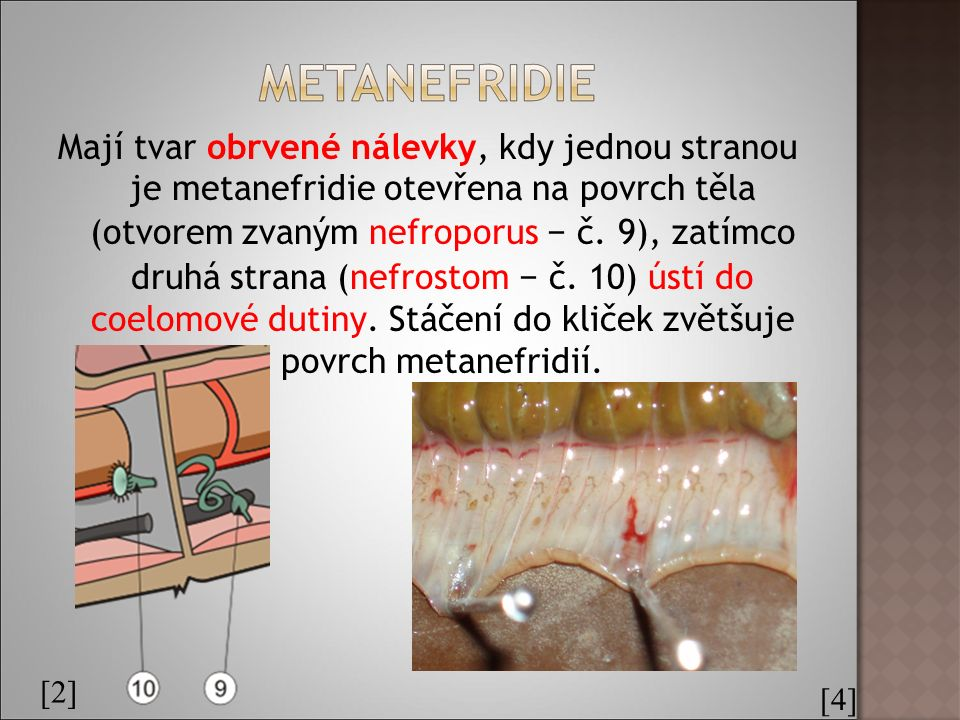 Mají tvar obrvené nálevky, kdy jednou stranou je metanefridie otevřena na povrch těla (otvorem zvaným nefroporus − č.