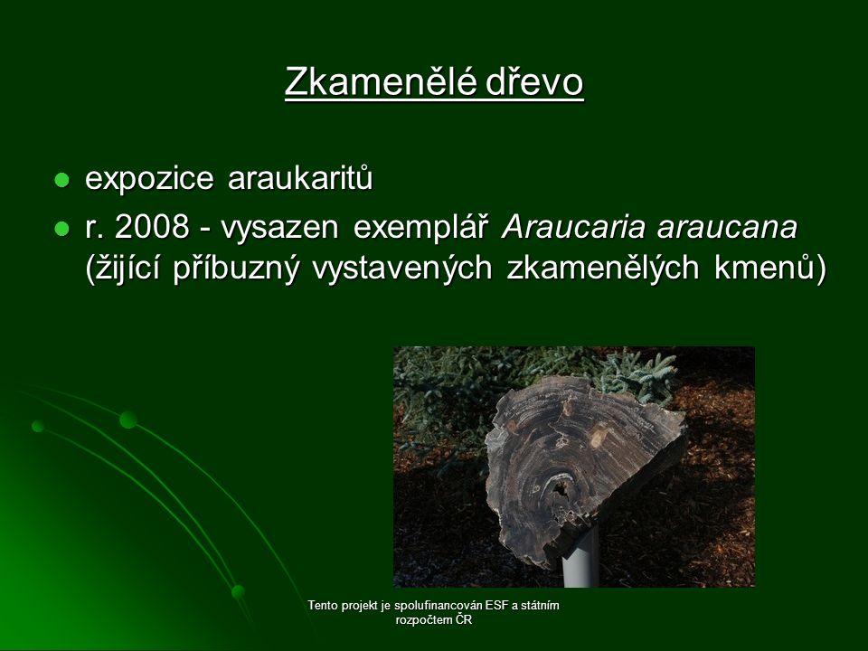Zkamenělé dřevo expozice araukaritů expozice araukaritů r. 2008 - vysazen exemplář Araucaria araucana (žijící příbuzný vystavených zkamenělých kmenů)