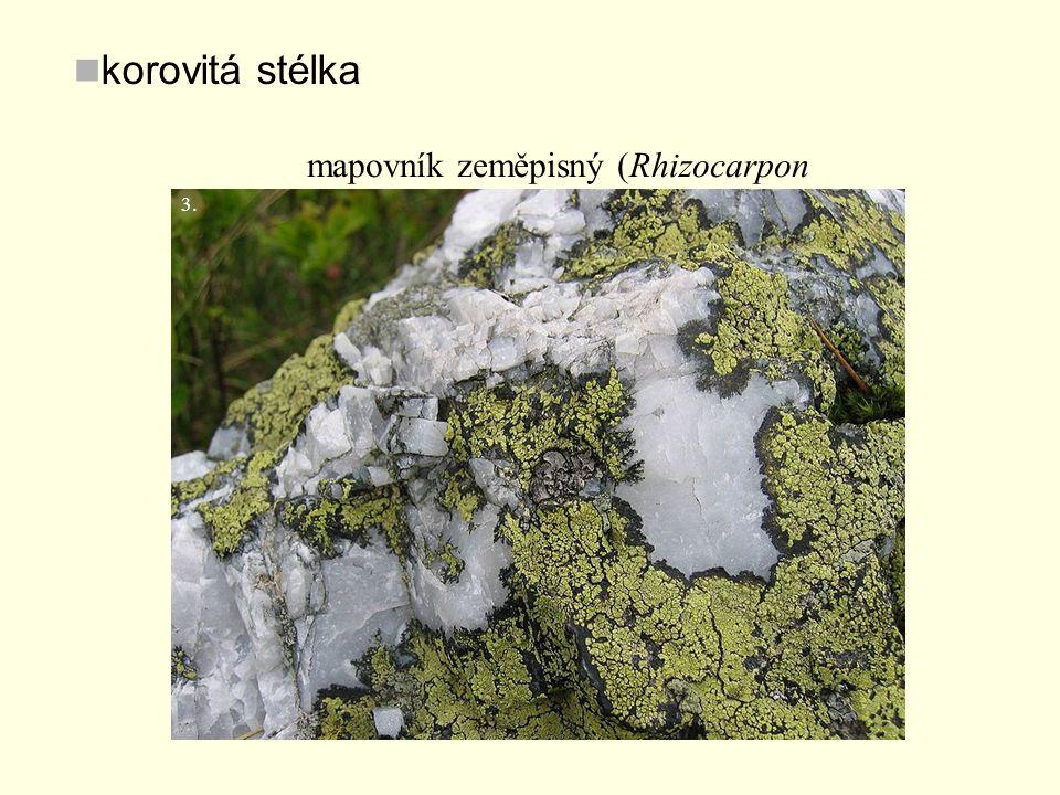korovitá stélka mapovník zeměpisný (Rhizocarpon geographicum) 3.