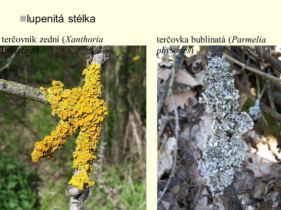 lupenitá stélka 1. terčovka bublinatá (Parmelia physodes) terčovník zední (Xanthoria parietina)