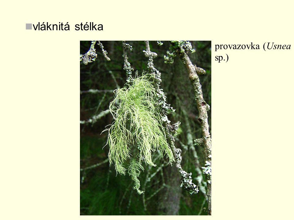 vláknitá stélka provazovka (Usnea sp.) 7.