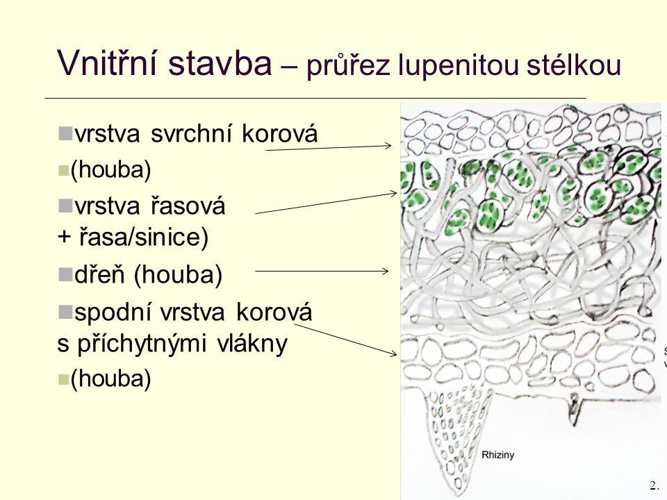Vnitřní stavba – průřez lupenitou stélkou vrstva svrchní korová (houba) vrstva řasová (houba + řasa/sinice) dřeň (houba) spodní vrstva korová s příchytnými vlákny (houba) 2.
