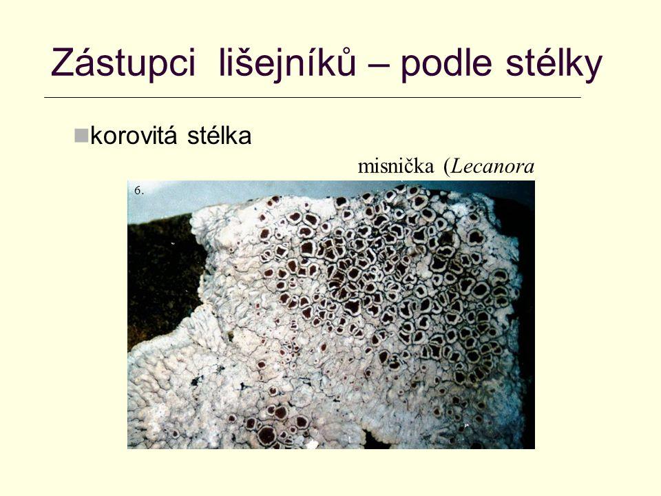 Zástupci lišejníků – podle stélky korovitá stélka misnička (Lecanora sp.) 6.