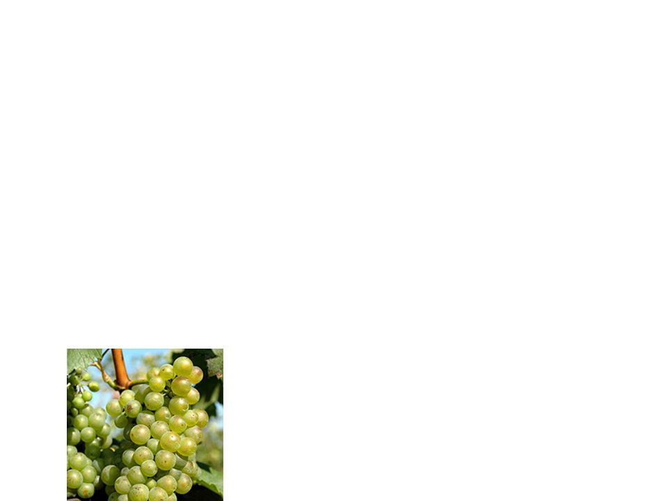 Types of Slovácko wines Rulandské bílé - It has a green-yellow color, soft floral nose, in mature wine one finds pears, bread crusts as well as hazelnuts.