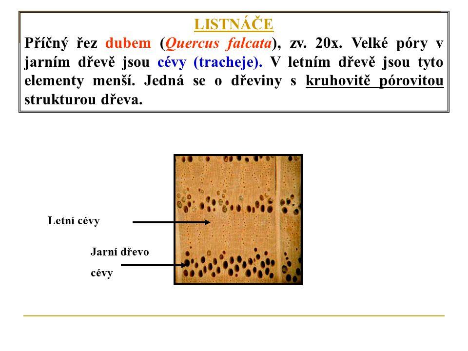 LISTNÁČE Příčný řez dubem (Quercus falcata), zv. 20x.