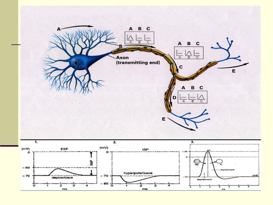 Popis obrázku Nervové signály šířící se po neuronu jsou dvojího druhu: chemické a elektrické.