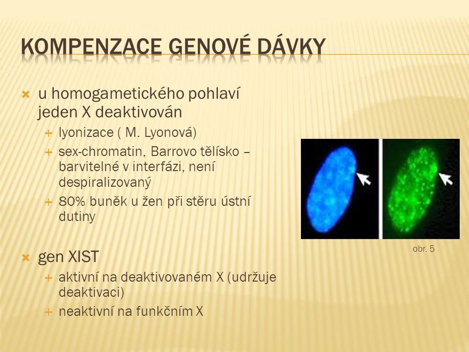  u homogametického pohlaví jeden X deaktivován  lyonizace ( M.
