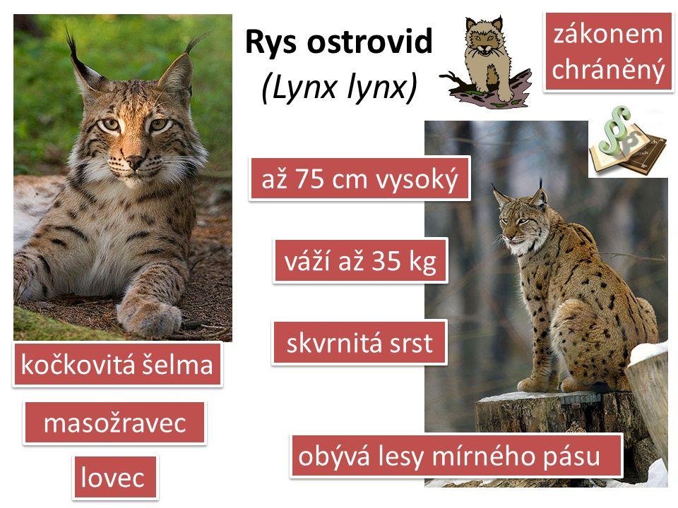 Rys ostrovid (Lynx lynx) skvrnitá srst lovec váží až 35 kg až 75 cm vysoký zákonem chráněný kočkovitá šelma masožravec obývá lesy mírného pásu