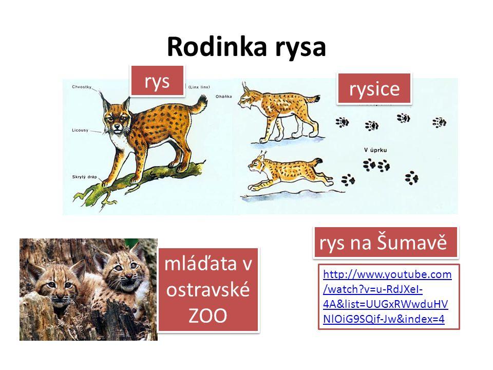 Rodinka rysa rys rysice mláďata v ostravské ZOO http://www.youtube.com /watch?v=u-RdJXeI- 4A&list=UUGxRWwduHV NlOiG9SQif-Jw&index=4 rys na Šumavě