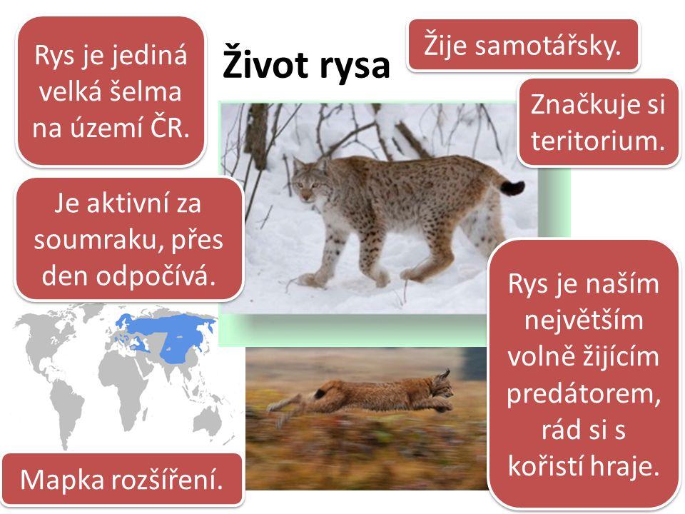 Život rysa Rys je jediná velká šelma na území ČR.Žije samotářsky.