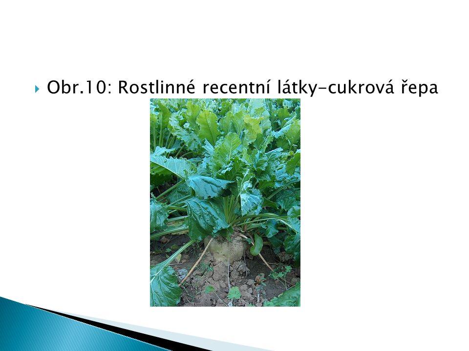  Obr.10: Rostlinné recentní látky-cukrová řepa
