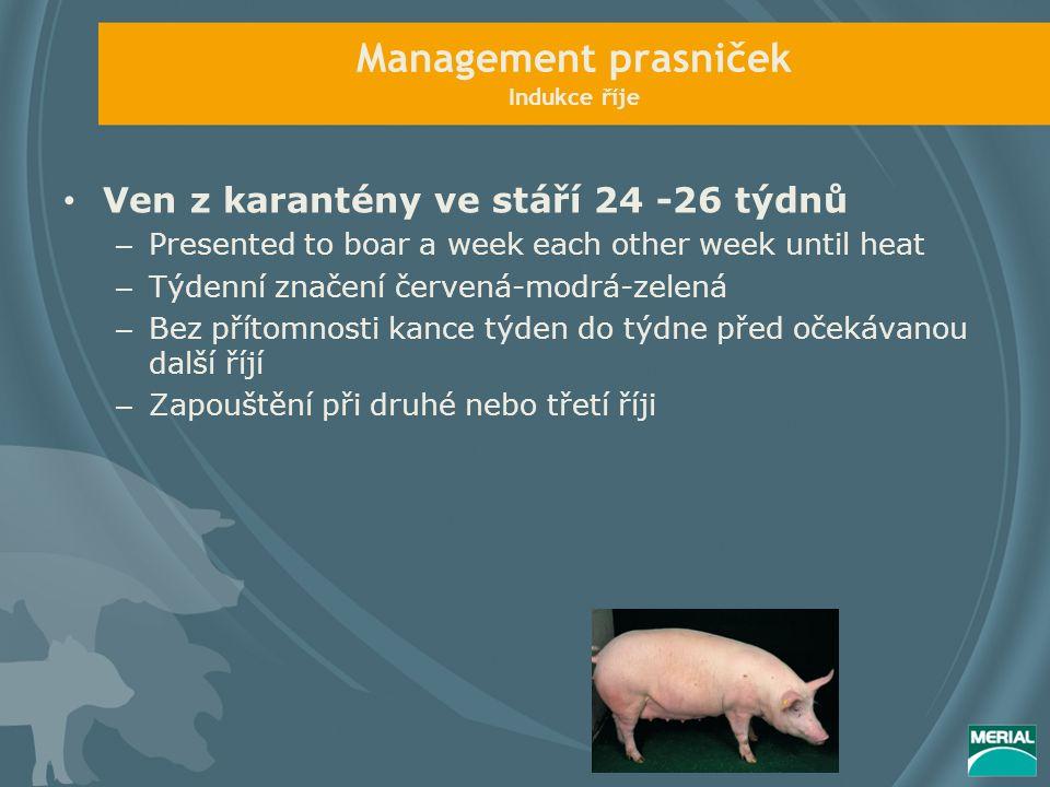 Management prasniček Indukce říje Ven z karantény ve stáří 24 -26 týdnů – Presented to boar a week each other week until heat – Týdenní značení červen
