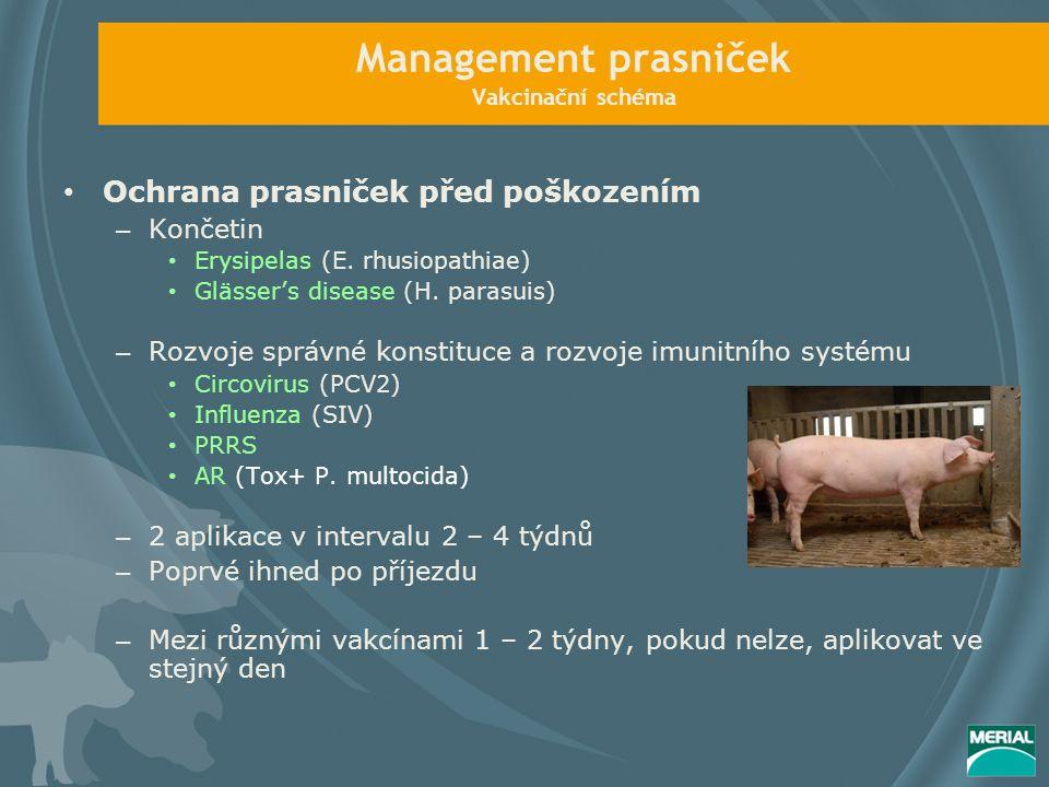 Management prasniček Vakcinační schéma Ochrana prasniček před poškozením – Končetin Erysipelas (E.