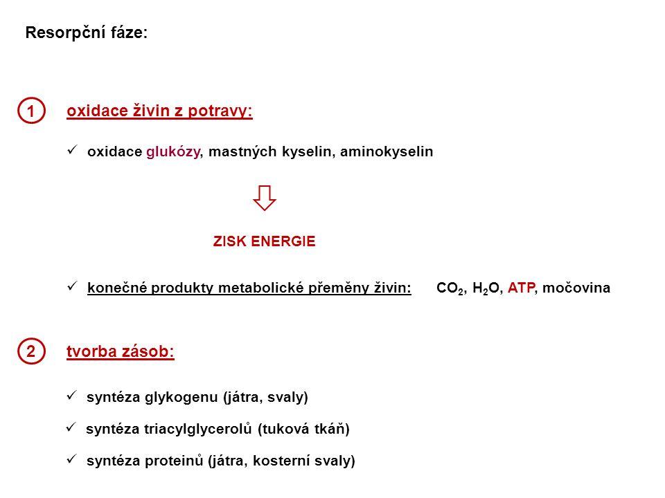oxidace živin z potravy: oxidace glukózy, mastných kyselin, aminokyselin konečné produkty metabolické přeměny živin:CO 2, H 2 O, ATP, močovina tvorba zásob: syntéza glykogenu (játra, svaly) ZISK ENERGIE 1 2 syntéza proteinů (játra, kosterní svaly) syntéza triacylglycerolů (tuková tkáň) Resorpční fáze: