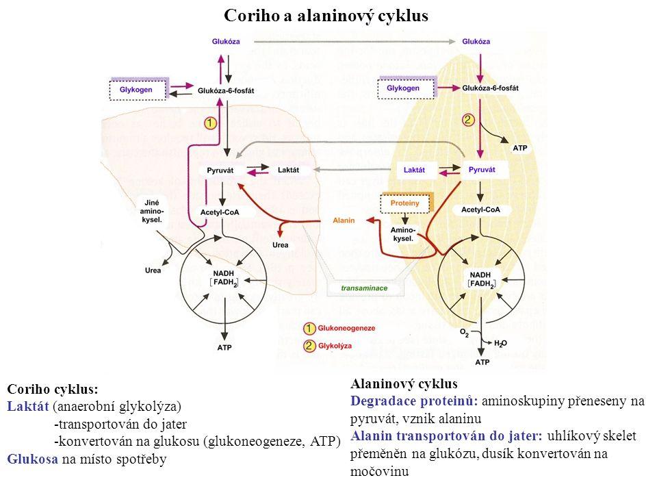 Coriho a alaninový cyklus Coriho cyklus: Laktát (anaerobní glykolýza) -transportován do jater -konvertován na glukosu (glukoneogeneze, ATP) Glukosa na místo spotřeby Alaninový cyklus Degradace proteinů:aminoskupiny přeneseny na pyruvát, vznik alaninu Alanin transportován do jater:uhlíkový skelet přeměněn na glukózu,dusík konvertován na močovinu
