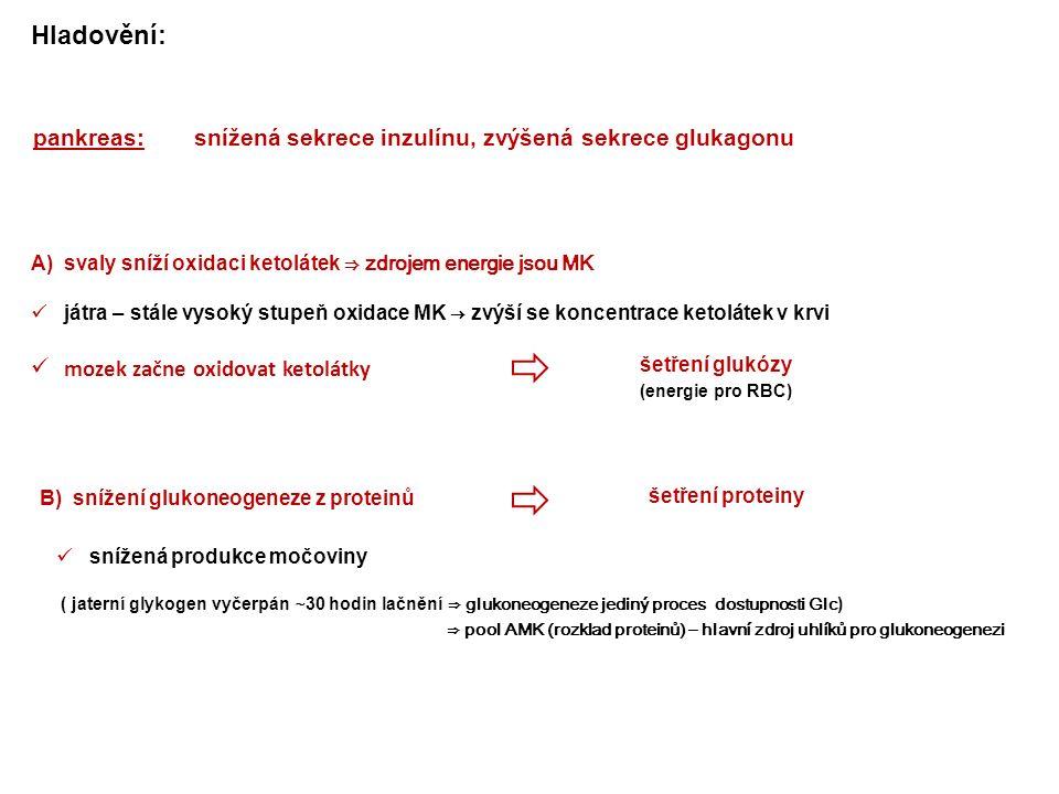 pankreas:snížená sekrece inzulínu, zvýšená sekrece glukagonu A) svaly sníží oxidaci ketolátek ⇒ zdrojem energie jsou MK játra – stále vysoký stupeň oxidace MK → zvýší se koncentrace ketolátek v krvi mozek začne oxidovat ketolátky šetření glukózy šetření proteiny B) snížení glukoneogeneze z proteinů Hladovění: snížená produkce močoviny (energie pro RBC) ( jaterní glykogen vyčerpán ∼ 30 hodin lačnění ⇒ glukoneogeneze jediný proces dostupnosti Glc ) ⇒ pool AMK (rozklad proteinů) – hlavní zdroj uhlíků pro glukoneogenezi