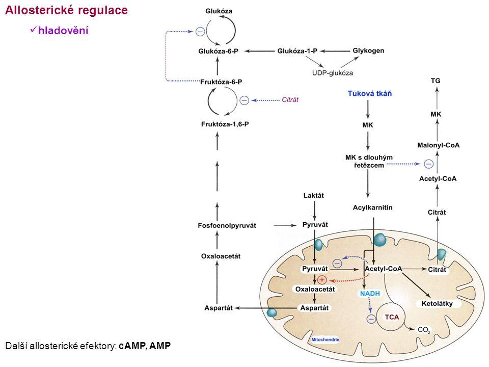 Allosterické regulace hladovění Další allosterické efektory: cAMP, AMP